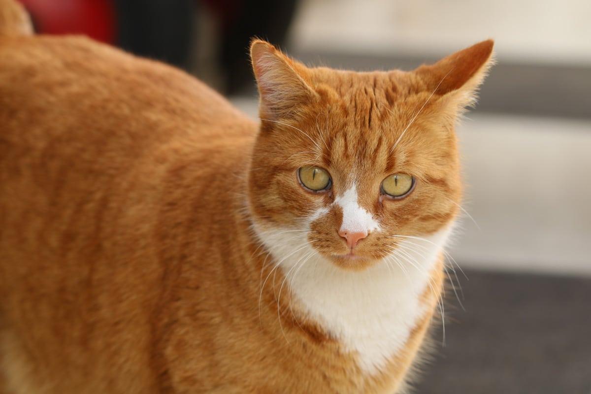 Stechpalme giftig - Katze