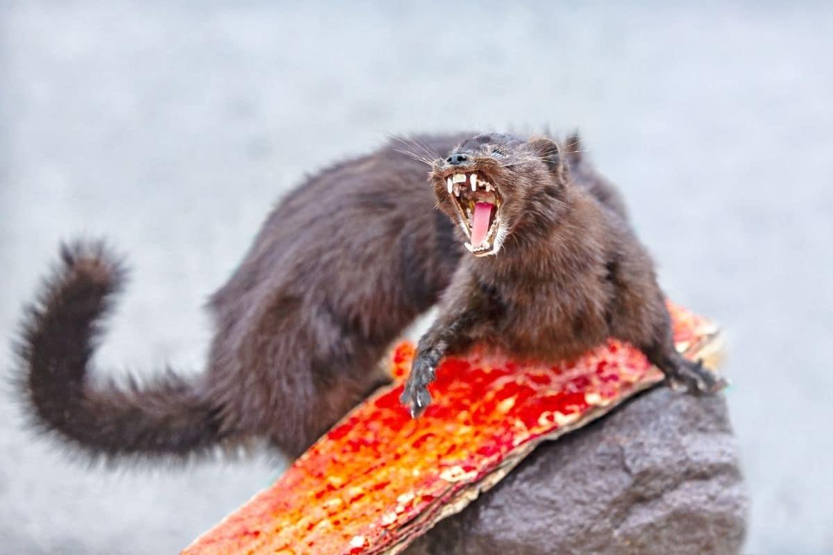 Marder verteidigt sich und zeigt Zähne