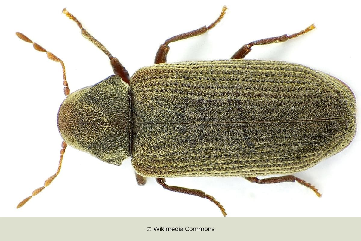 Nagekäfer - Anobium punctatum