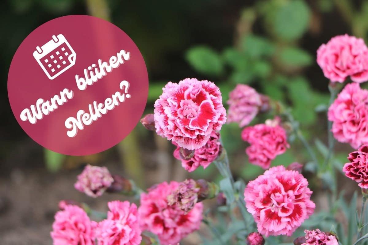 Blütezeit von Nelken
