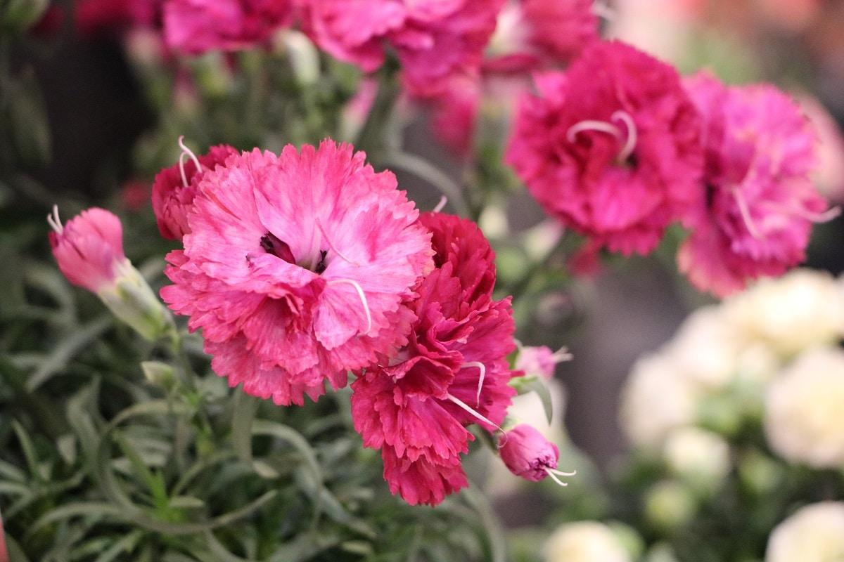 Nelken - Dianthus