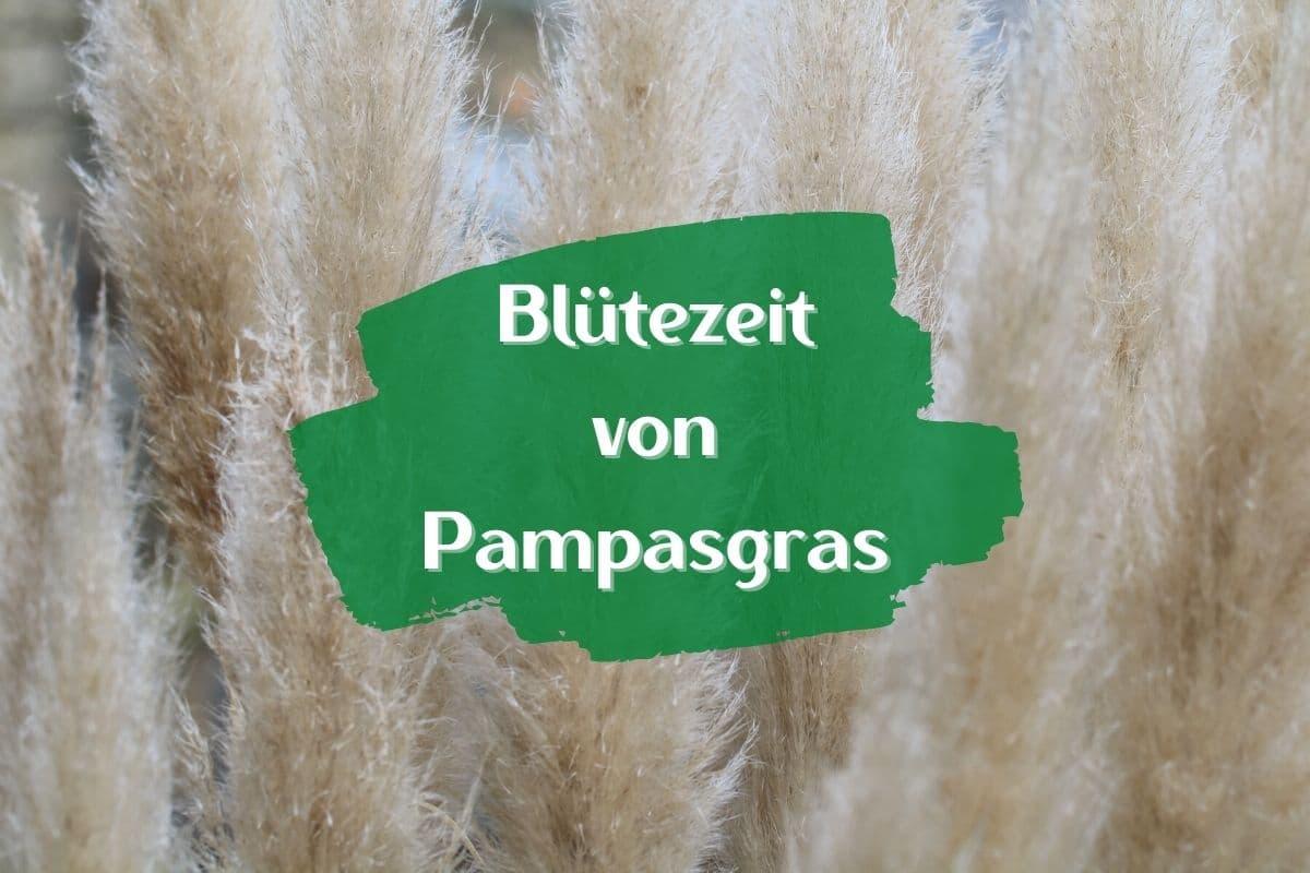 Blütezeit von Pampasgras