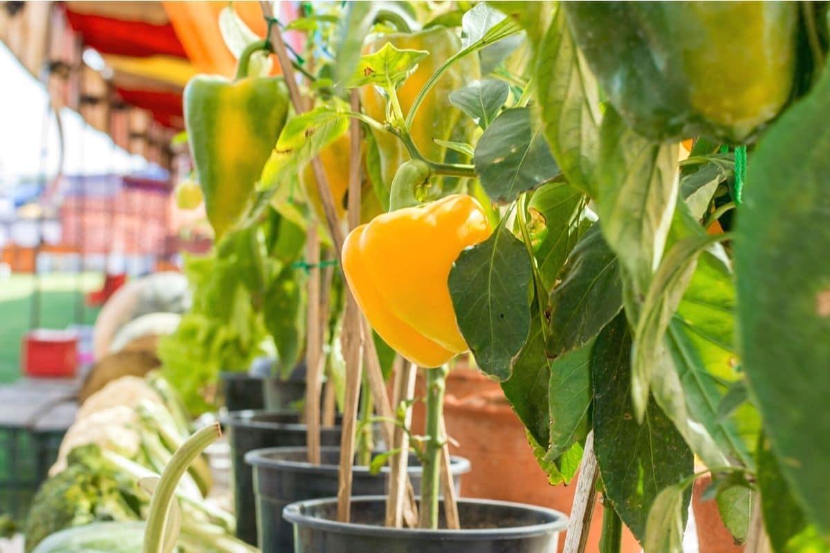 Paprikapflanzen im Kübel