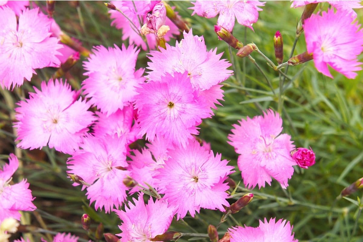 Blütezeit von Nelken - Pfingstnelke