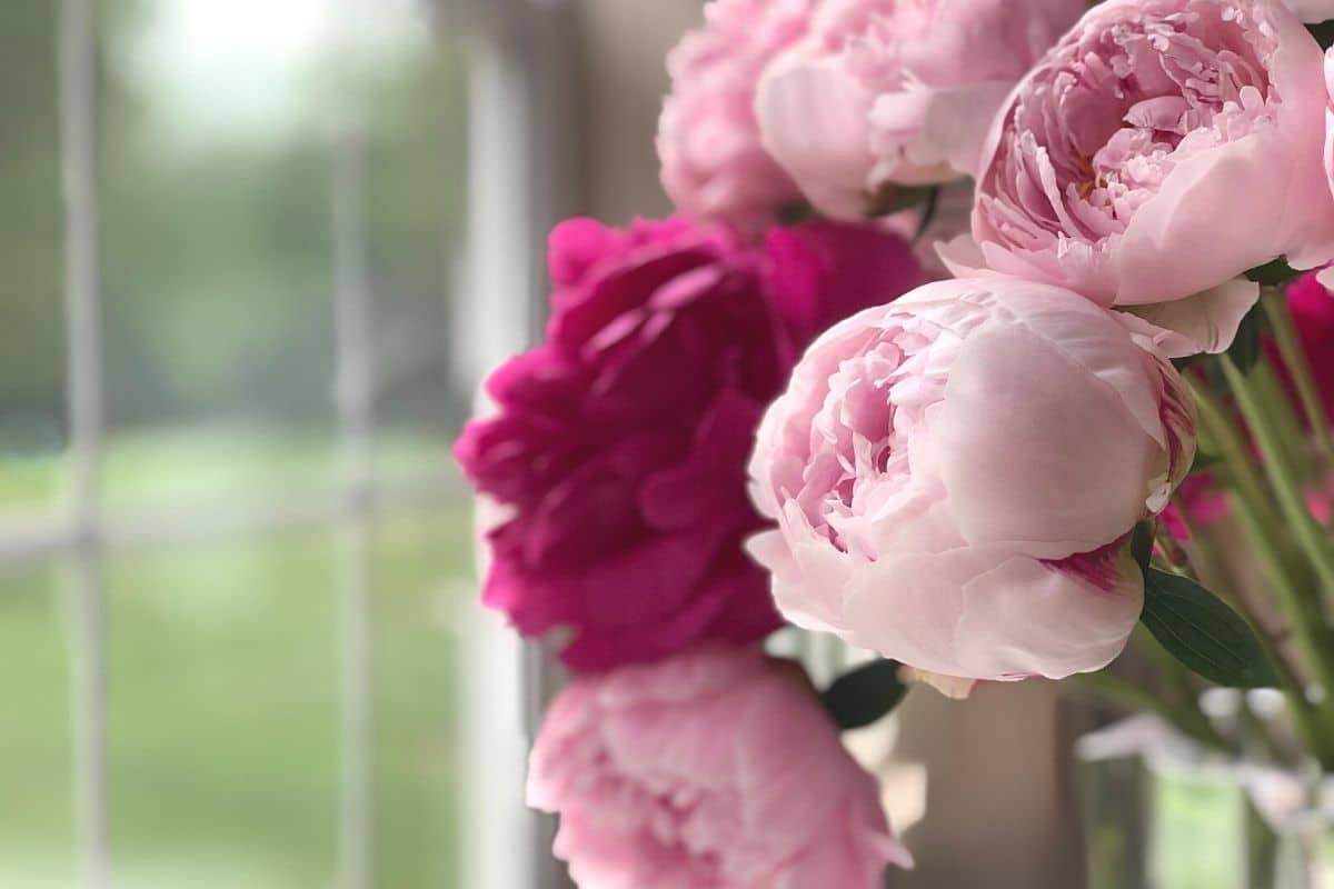 Pfingstrosen in der Vase am Fenster