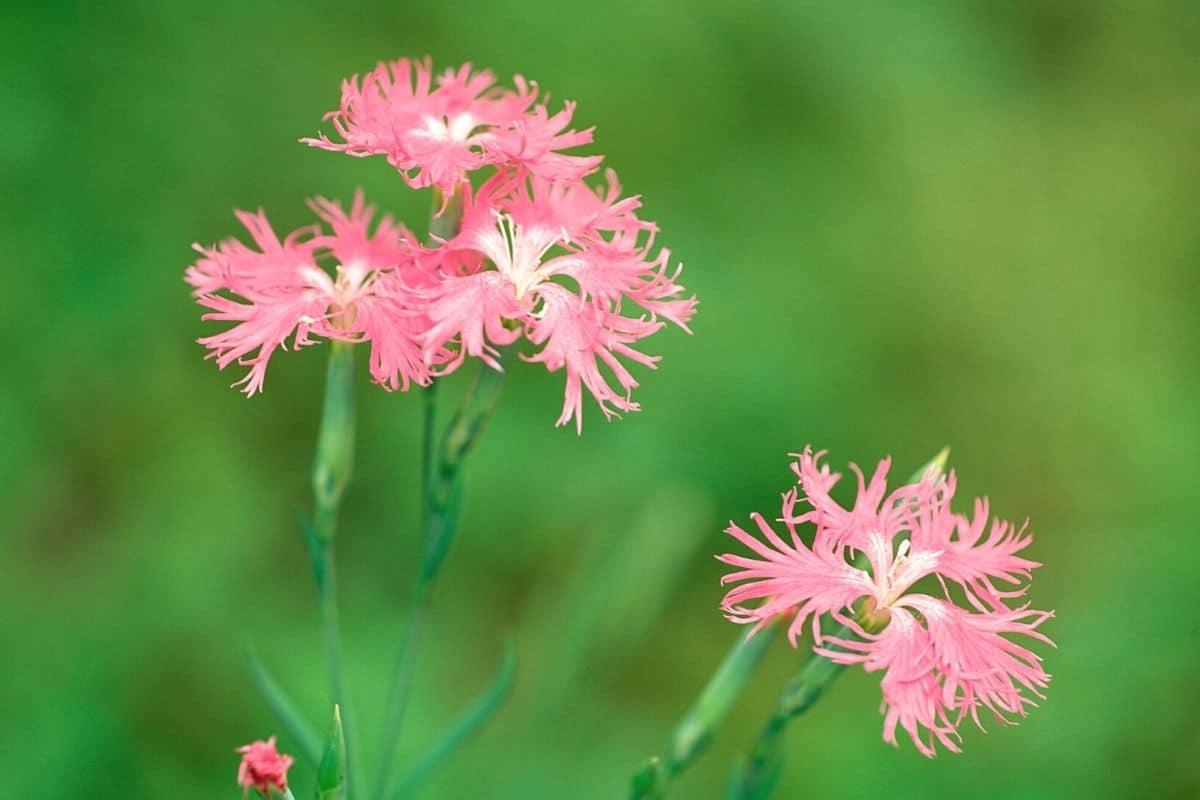 Prachtnelke - Dianthus superbus