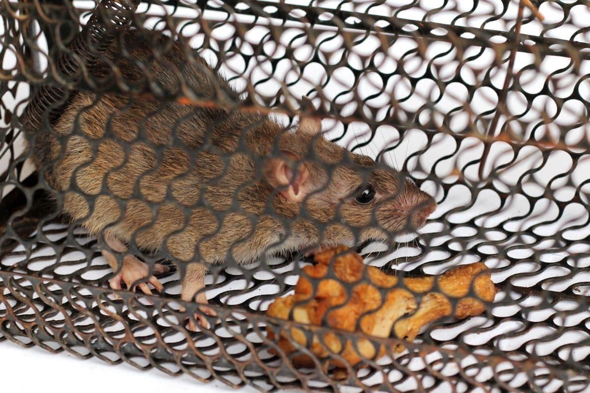 Ratte in Lebendfalle - Fleisch als Rattenköder