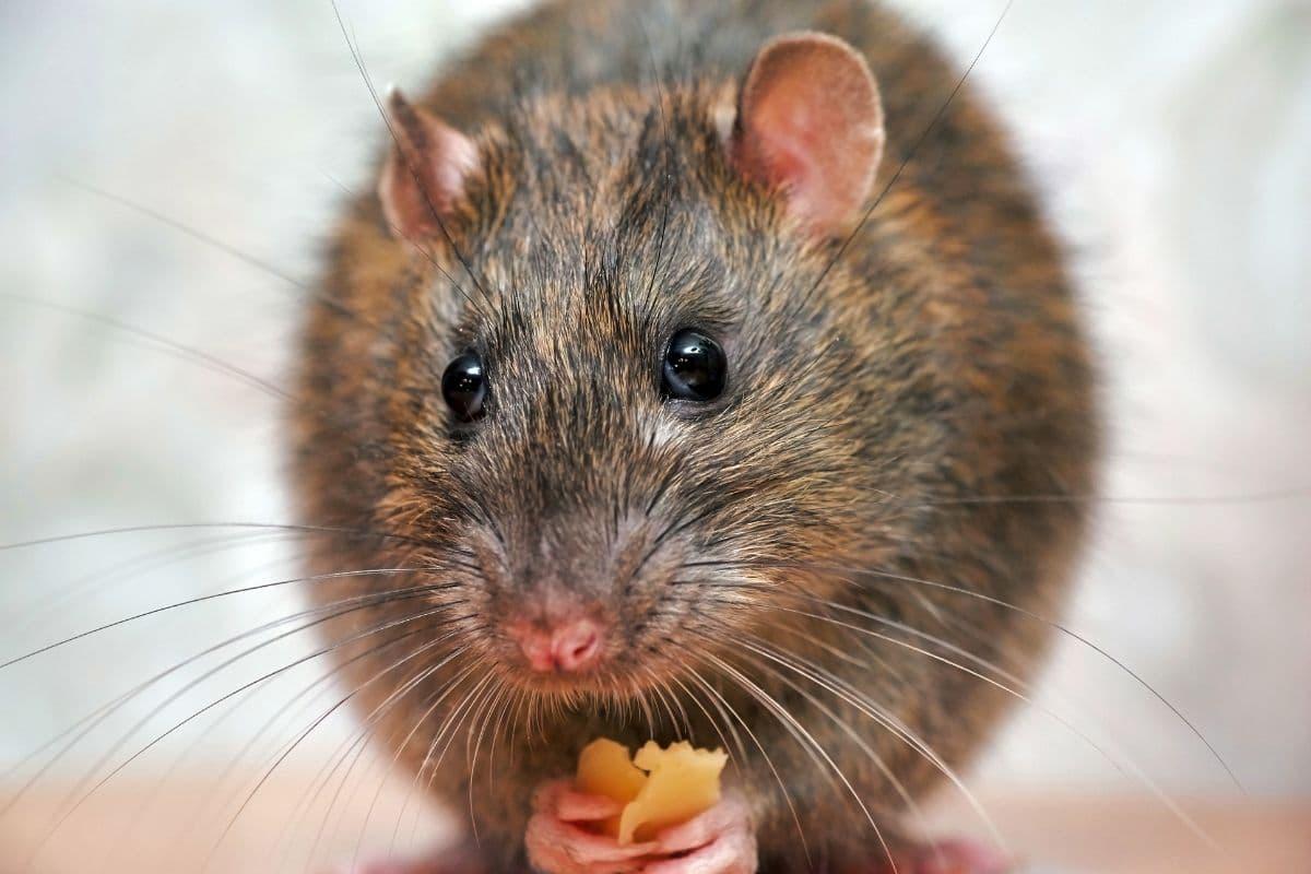 Ratte mit Käse