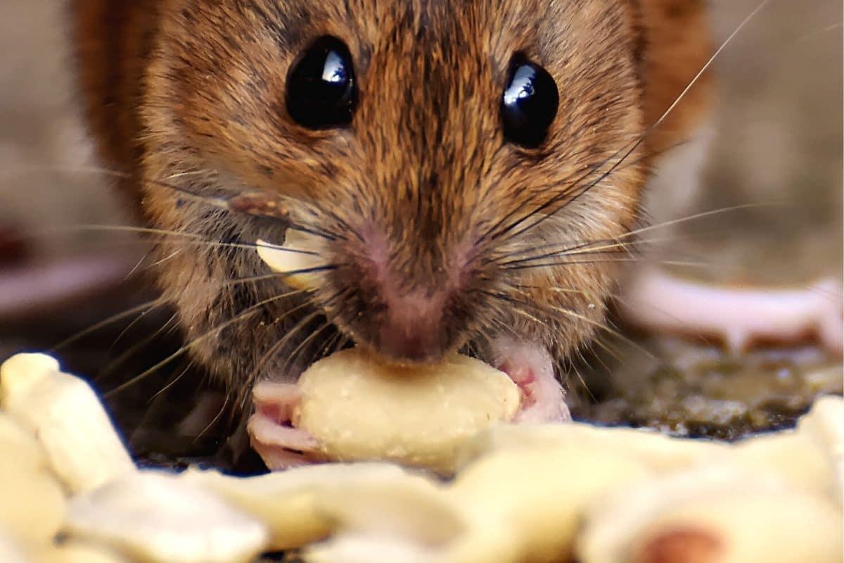 Ratte frisst Nüsse