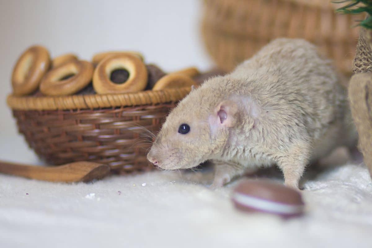 Süßigkeiten als Rattenköder
