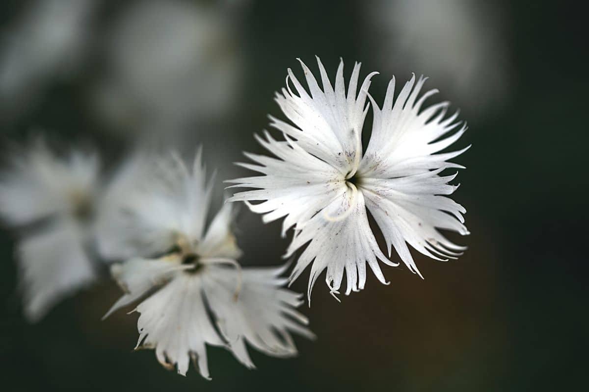 Sandnelke - Dianthus arenarius