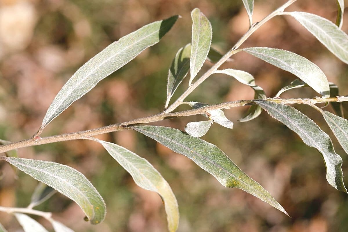 Laubblätter erkennen - Silber-Weide