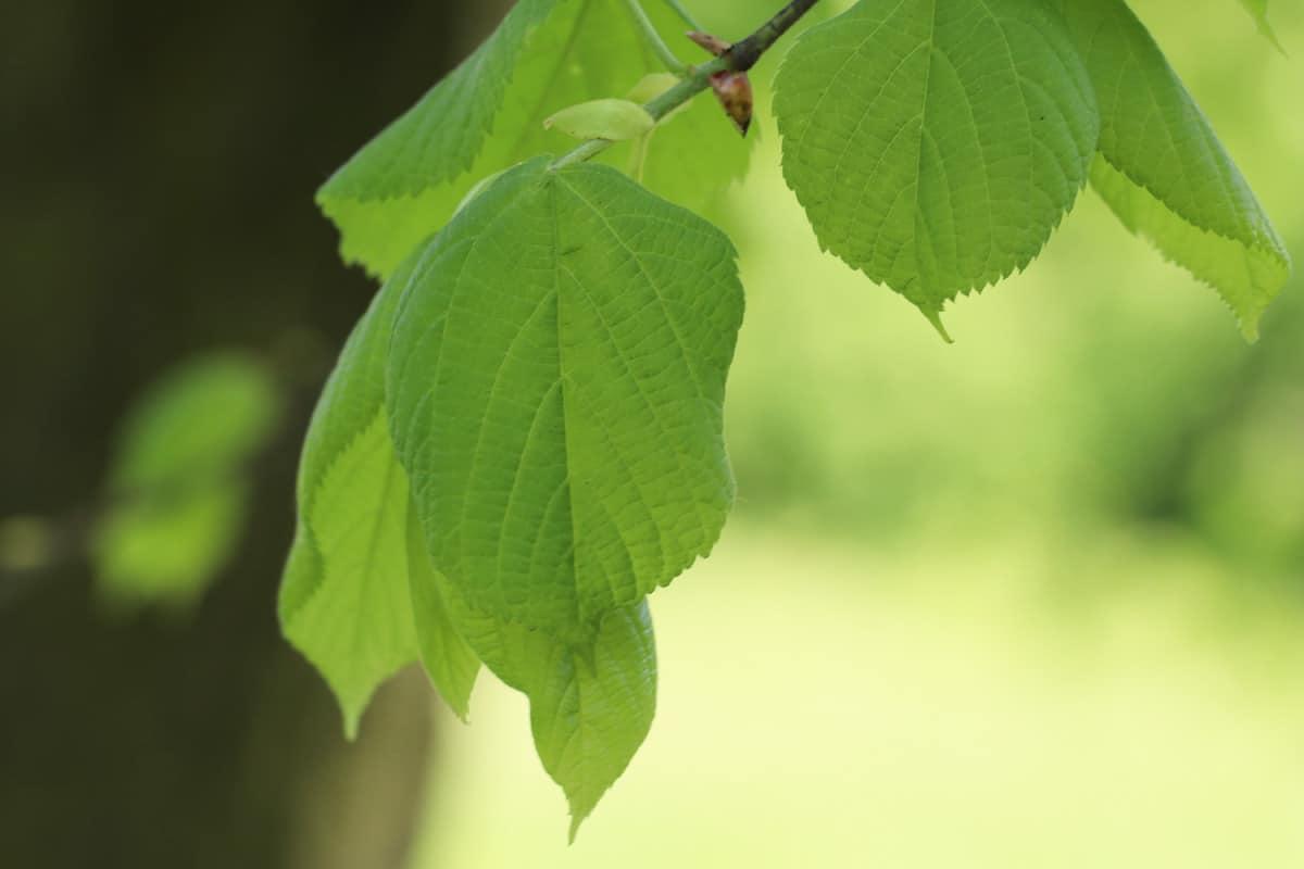 Sommer-Linde - Tilia platyohyllos