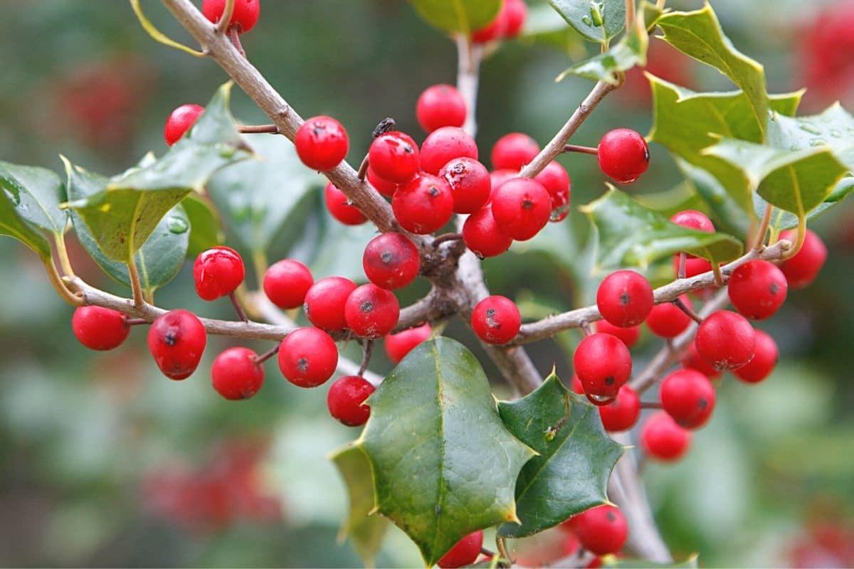 Giftige Beeren der Stechpalme