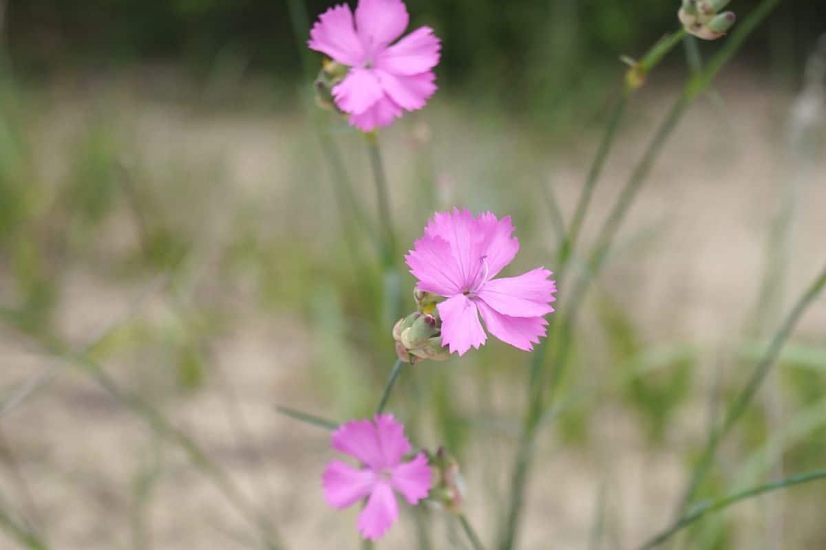 Steinnelke - Dianthus sylvestris
