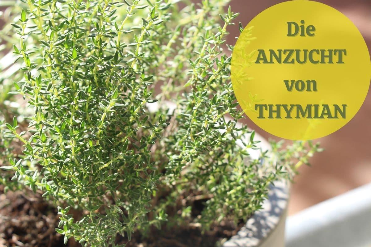 Thymian-Anzucht