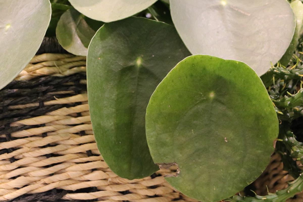 Ufopflanze mit Blattschäden