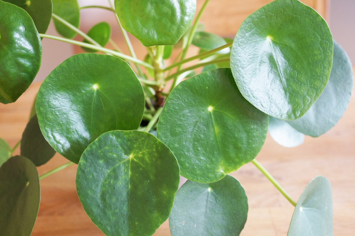 Ufopflanze - Pilea peperomioides-