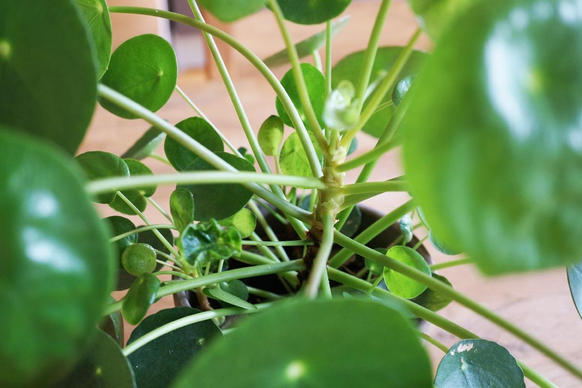 Ufopflanze - Pilea peperomioides