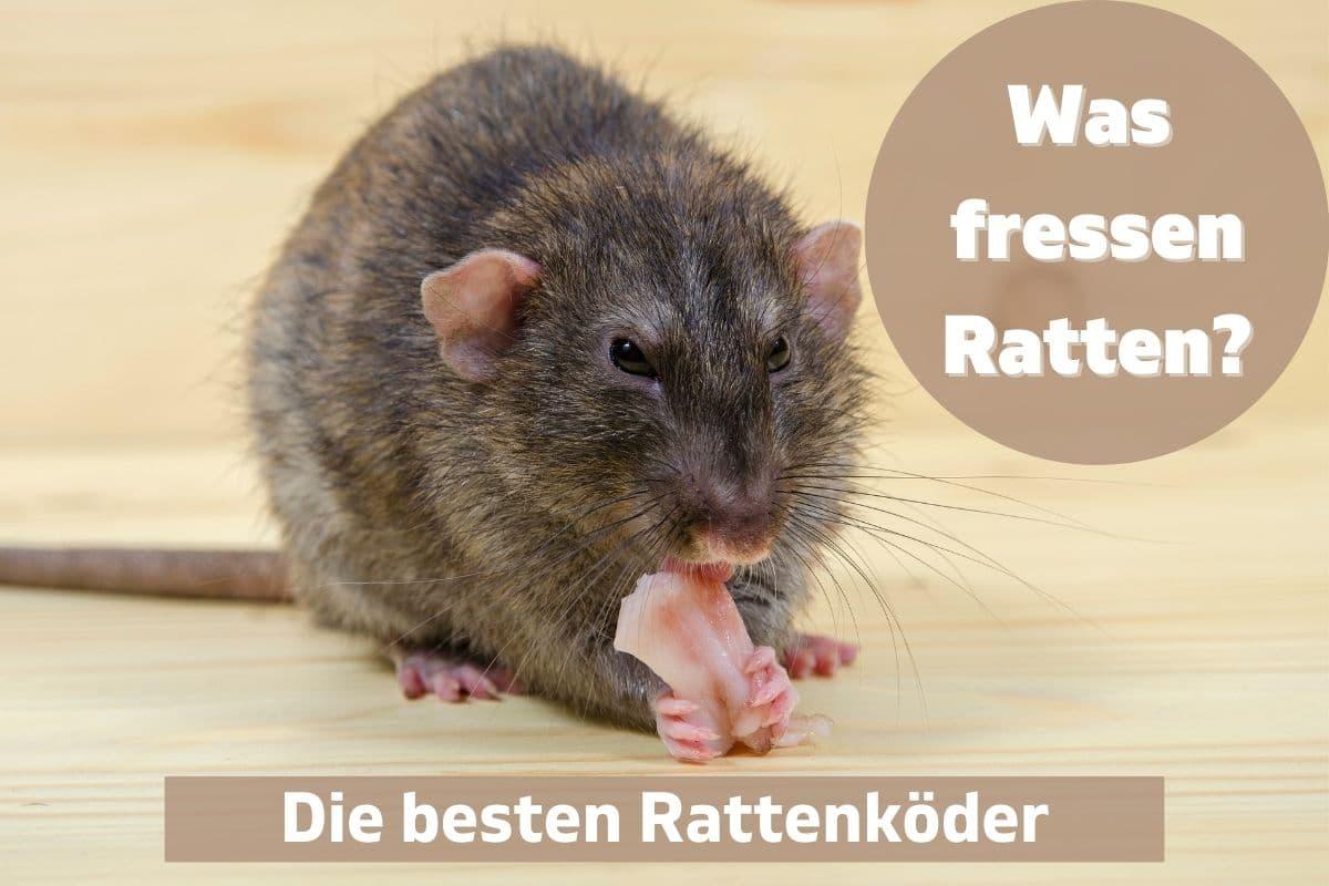 Was fressen Ratten - Die besten Rattenköder
