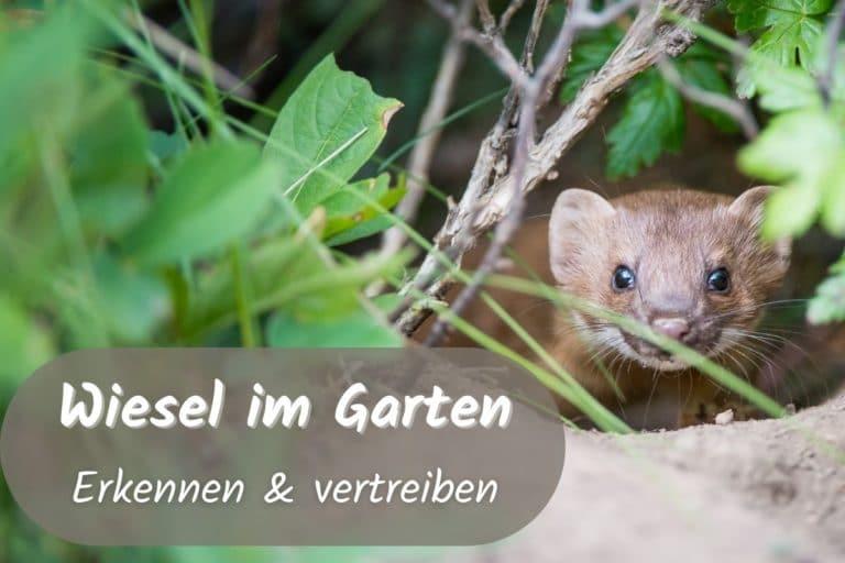 Wiesel Im Garten So Reagieren Sie Richtig Gartenlexikon De