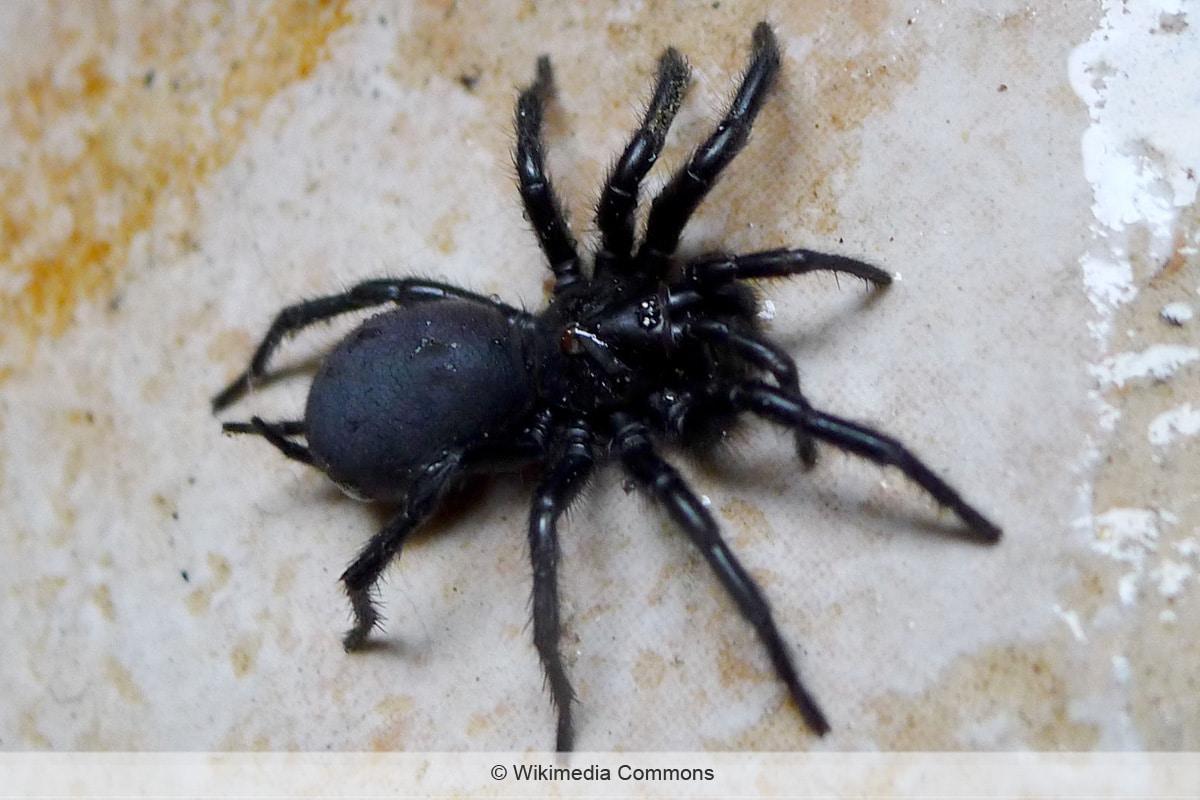 Spinnenarten - Andalusische Trichternetzspinne