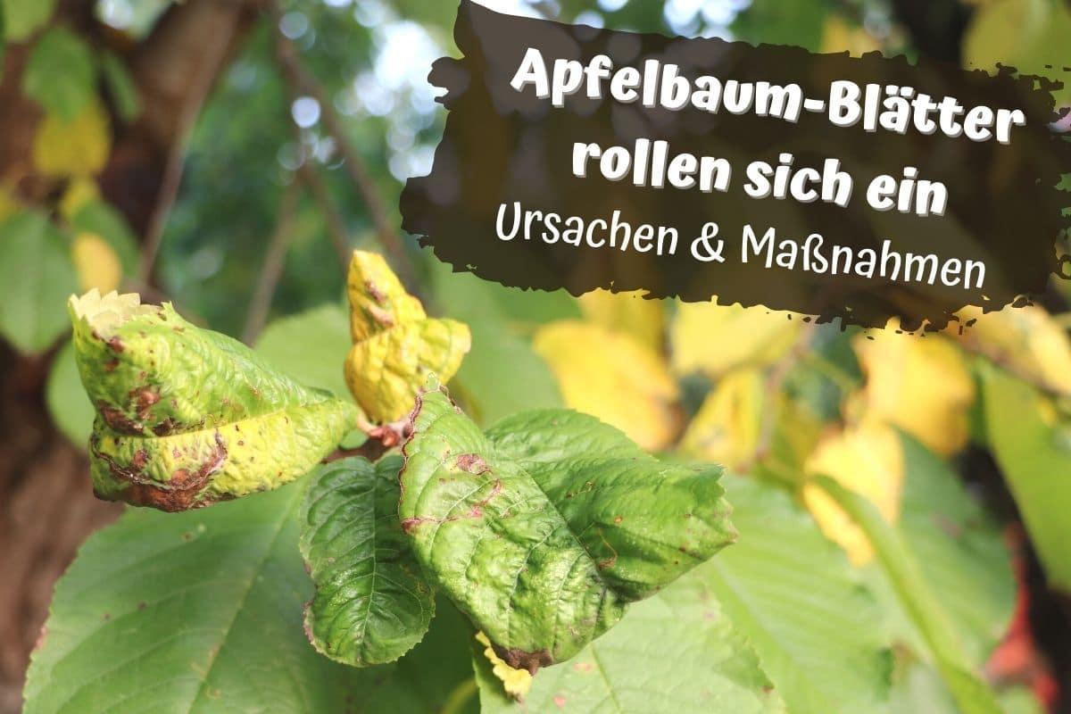 Apfelbaum-Blätter kräuseln sich