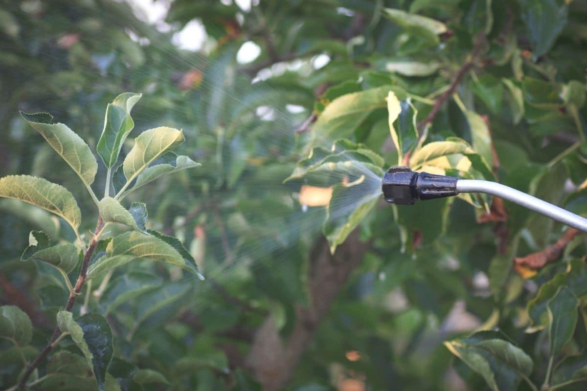 Apfelbaum-Blätter kräuseln sich - Insektizid sprühen