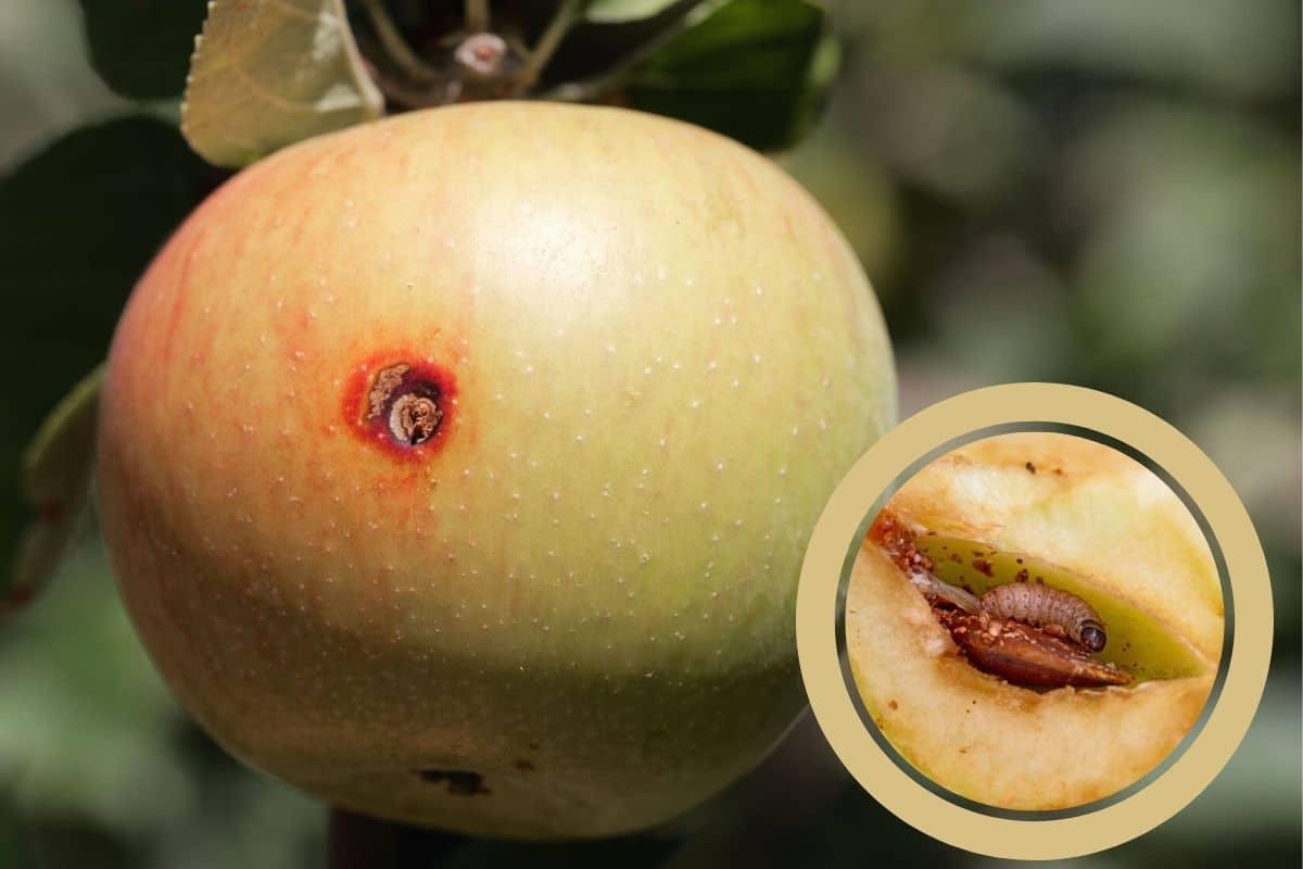 Apfelbaum-Schädlinge - Apfelwickler