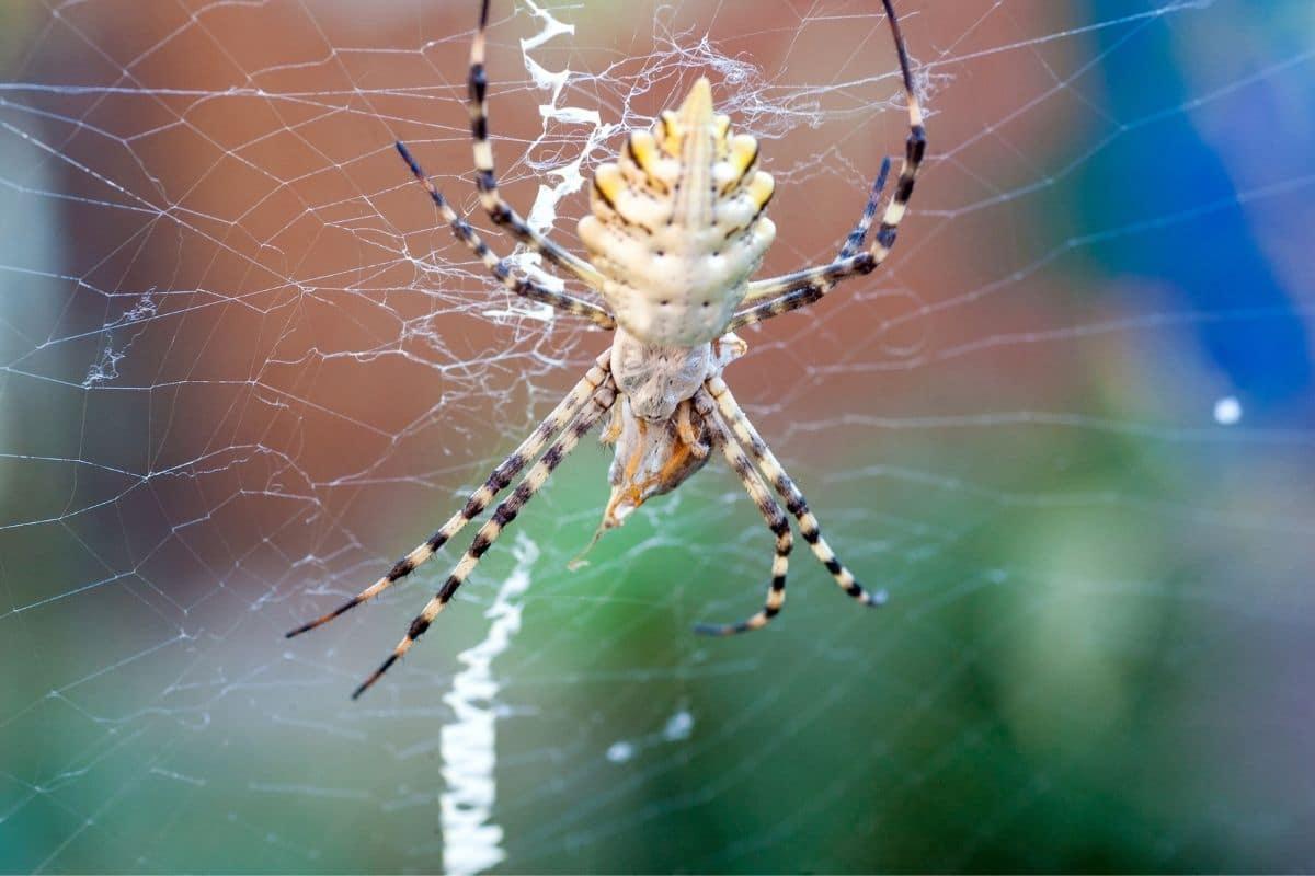 Spinnenarten - Argiope lobata