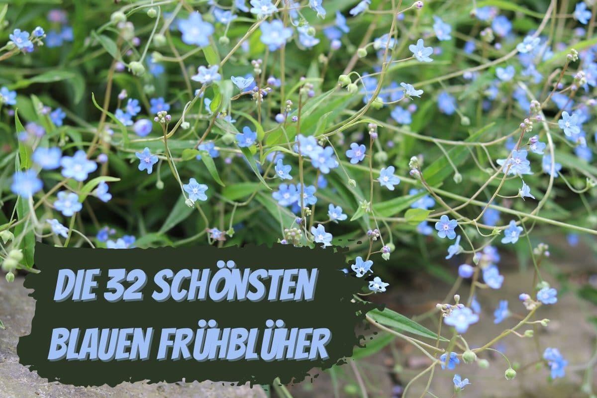 Blaue Frühblüher - Frühlings-Gedenkemein