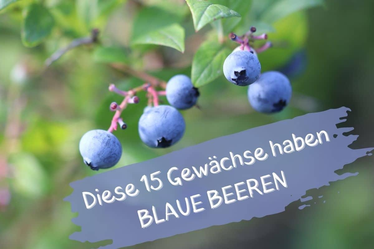Blauen Beeren - Heidelbeeren