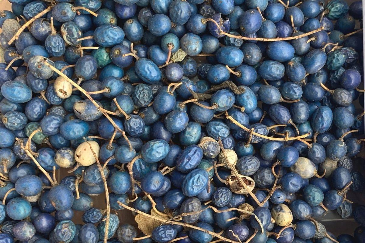 Blueberry Ash - Elaeocarpus reticulatus