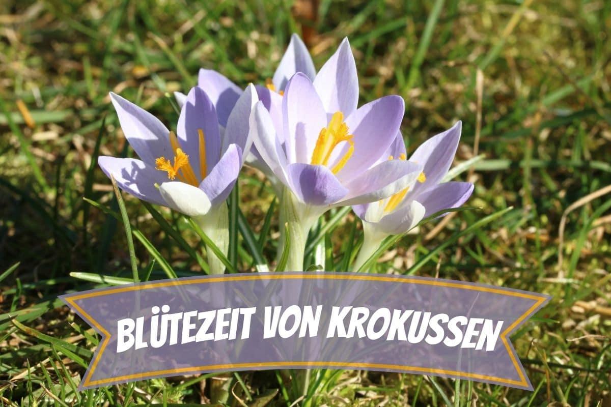 Blütezeit von Krokussen