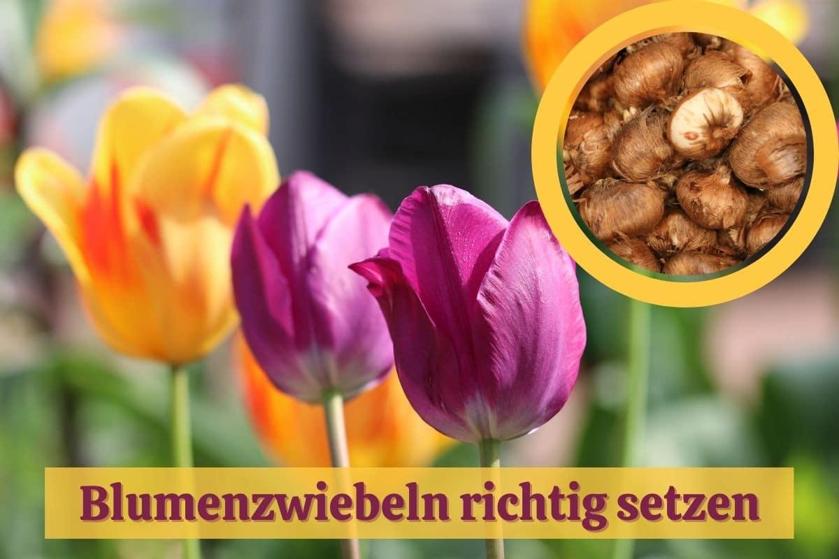 Blumenzwiebeln pflanzen - Tulpen