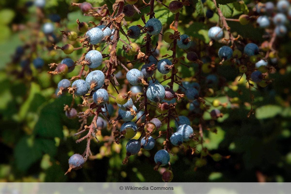 Blutjohannisbeere - Ribes sanguineum