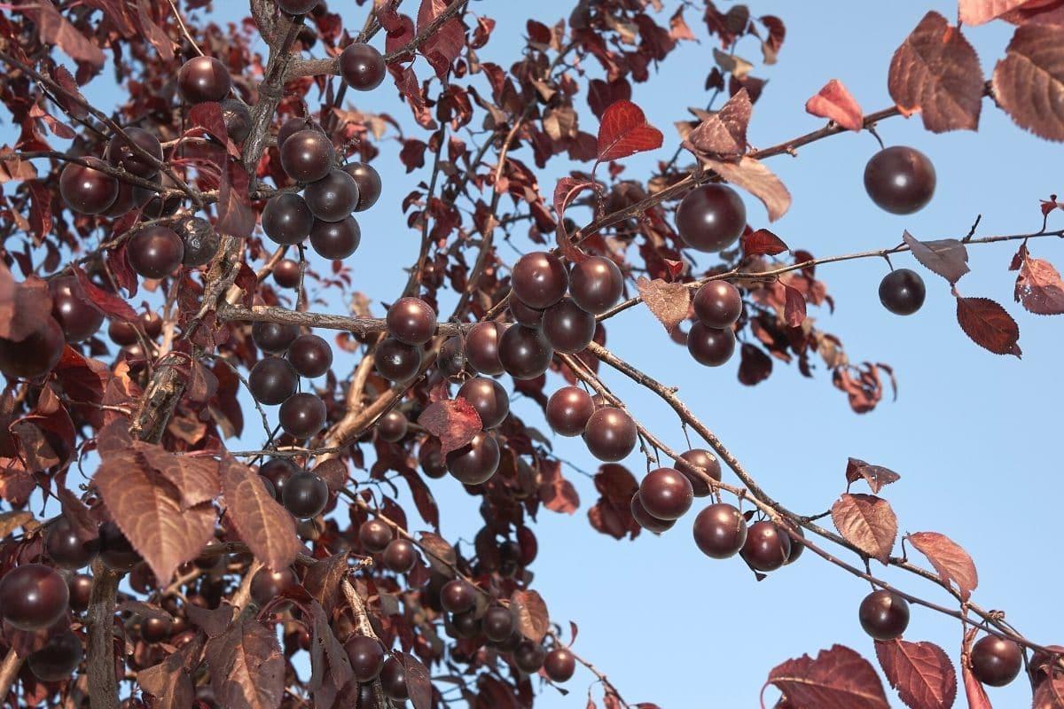 Blutpflaume - Prunus cerasifera nigra