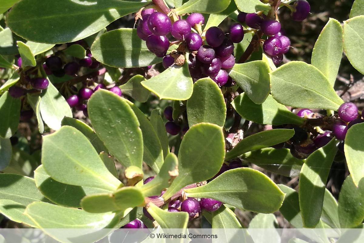Lila Beeren - Myoporum insulare