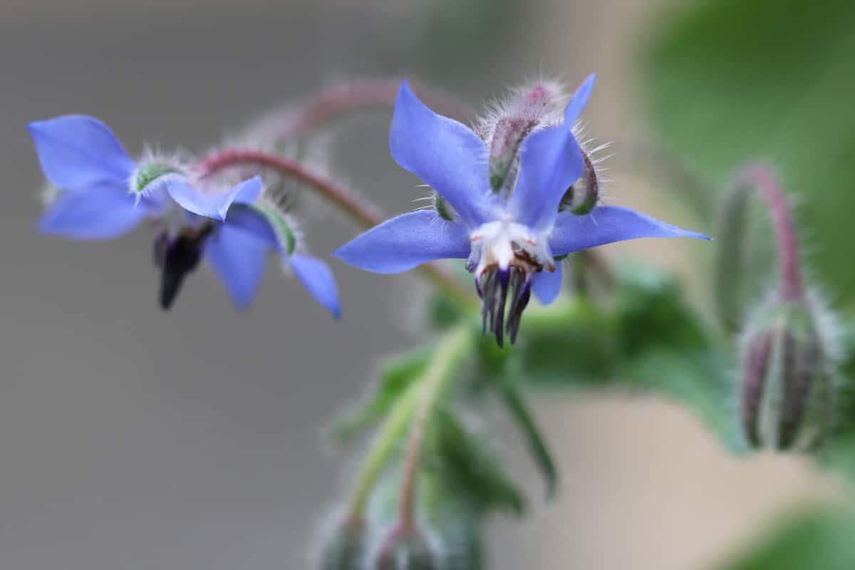 Borretsch - Borago officinalis