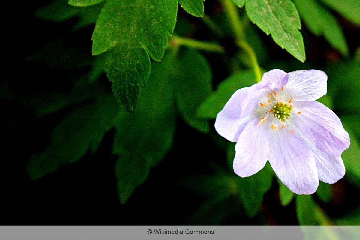 Blaue Frühblüher - Buschwindröschen 'Robinsoniana'