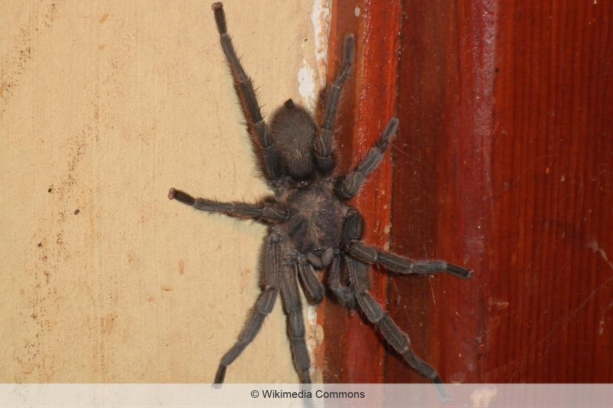 Spinnenarten - Chaetopela olivaceum