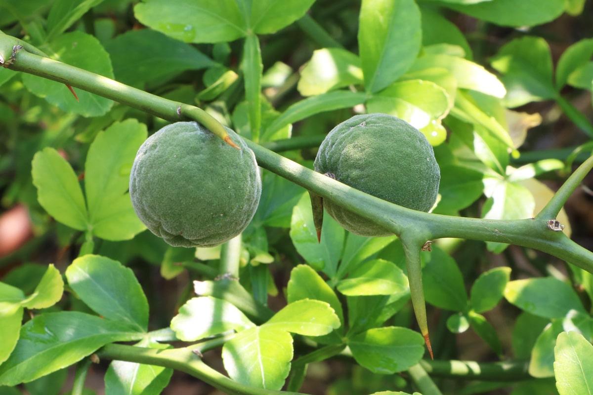 Dreiblättrige Orange - Poncirus trifoliata