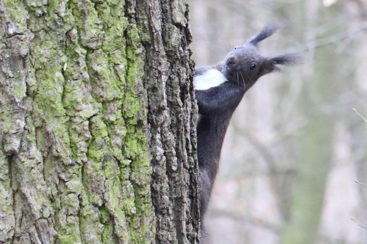 Eichhörnchen mit Winterfell