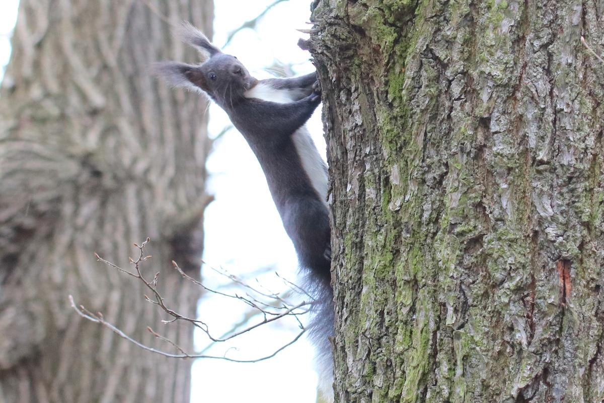 Eichhörnchenarten - Dunkleres Sciurus vulgaris