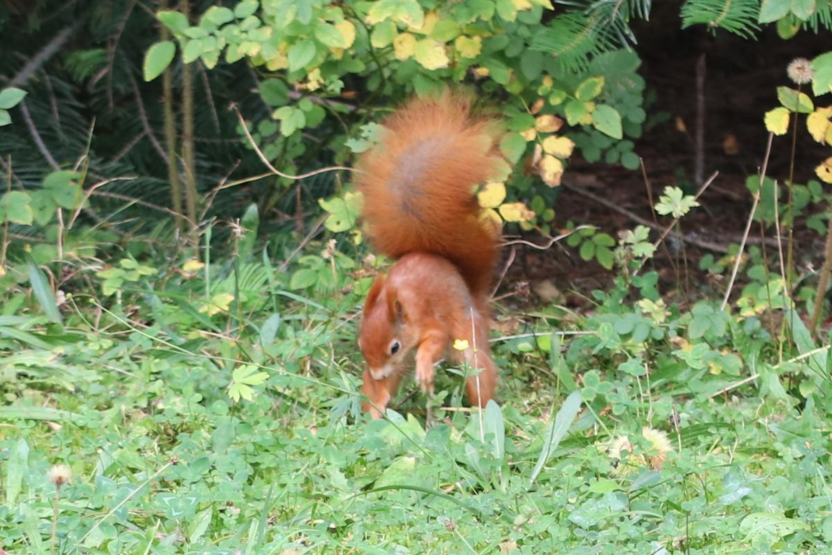 Eichhörnchen-Schwanz