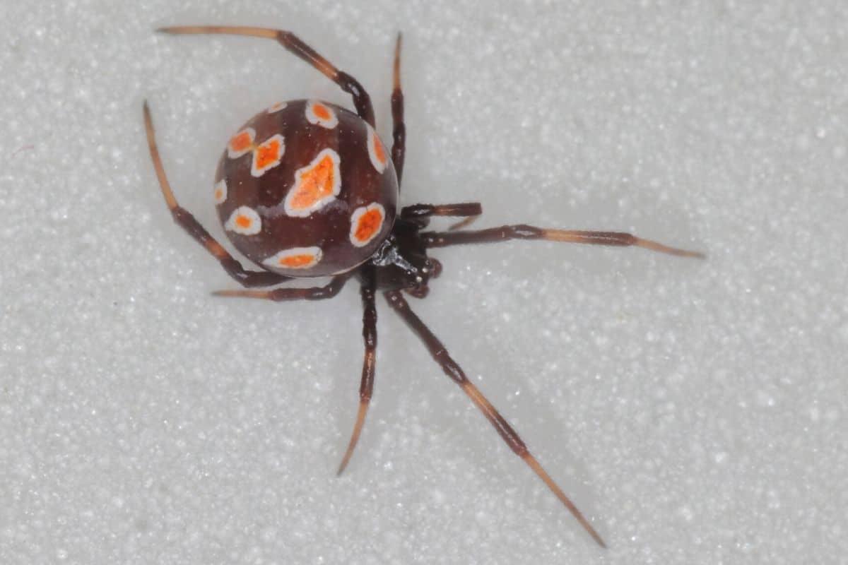 Spinnenarten - Schwarze Witwe