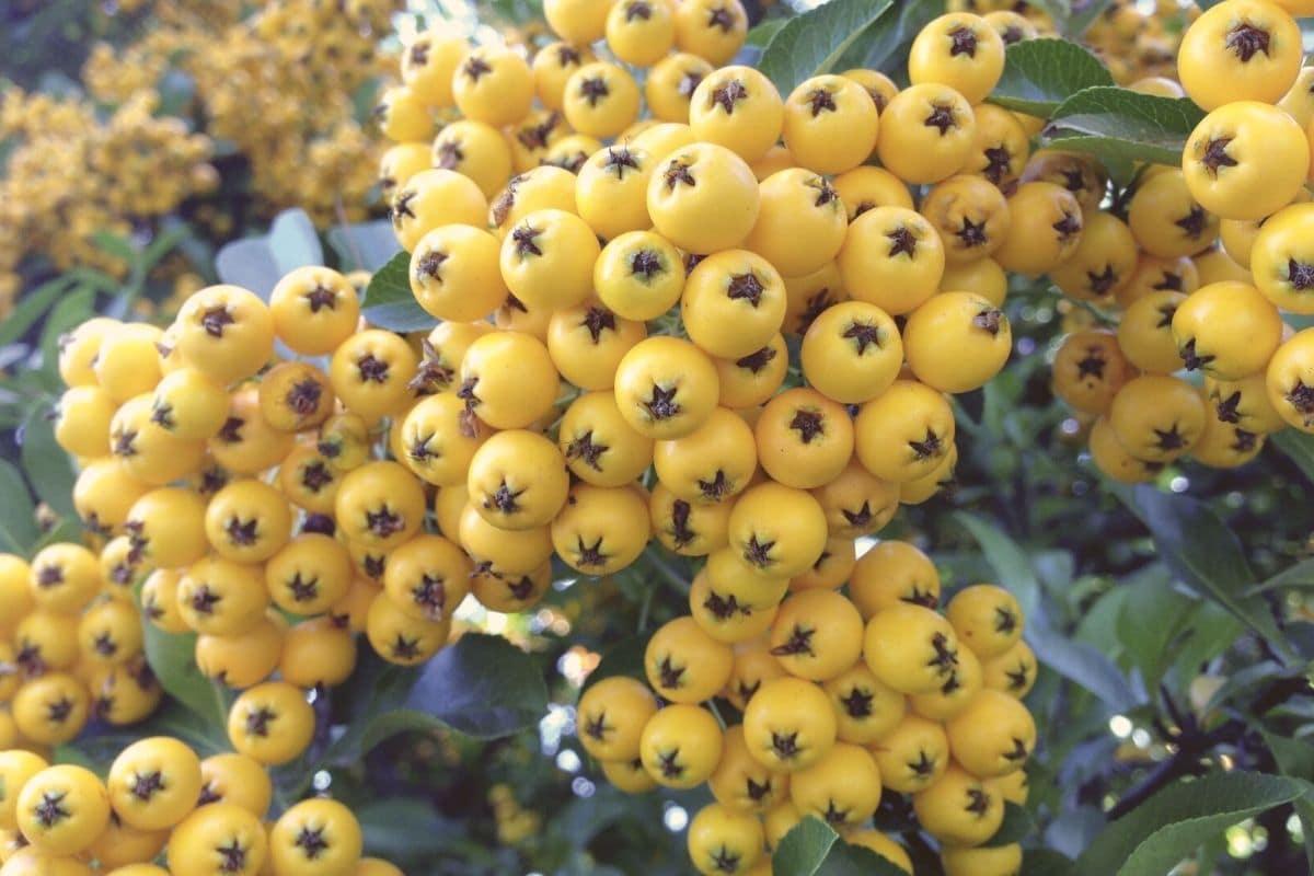 Gelbe Beeren - Feuerdorn