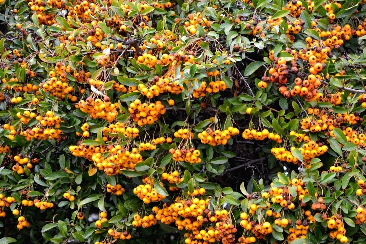 Orange Beeren - Feuerdorn 'Orange Glow'