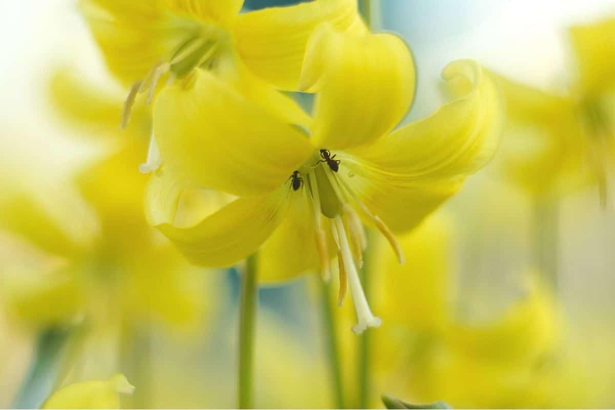 Gelbe Frühblüher - Forellenllilie 'Pagoda'