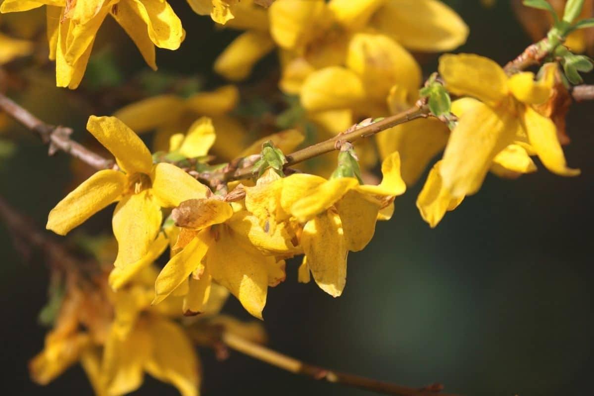 Gelbe Frühblüher - Forsythie 'Lynwood Gold'